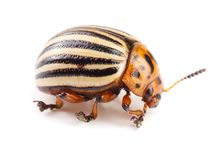 Colorado Potato Beetle isolated on white background.  royalty free stock photography