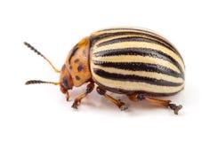 Colorado Potato Beetle isolated on white background.  royalty free stock photos