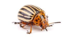 Colorado Potato Beetle isolated on white background.  stock photos