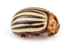 Colorado Potato Beetle isolated on white background.  royalty free stock photo
