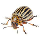 Colorado Potato Beetle Isolated on White Background Stock Photos