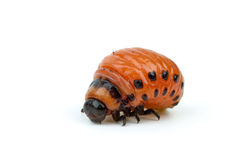 Colorado potato beetle larva stock photo