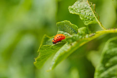 Colorado potato beetle larva Royalty Free Stock Photos