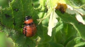 Colorado potato beetle larva on  leaf  in farm stock video