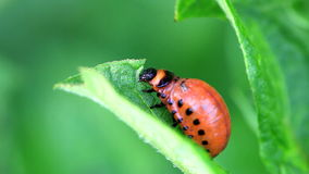 Colorado Potato Beetle Larva stock video