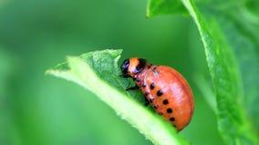 Colorado Potato Beetle Larva stock video