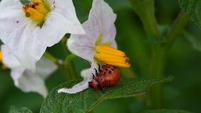 Colorado Potato Beetle Larva stock video footage