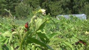 Colorado potato beetle larva on plant leaf and wind stock footage
