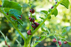 Colorado potato beetle larvae Stock Photo