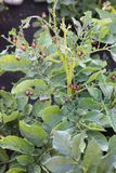Colorado potato beetle larvae eating green potato leaves on the bush at the cloudy day stock photo