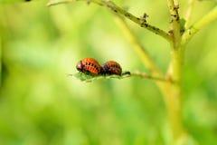 Colorado potato beetle larvae Stock Image