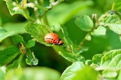 Colorado potato beetle larvae Royalty Free Stock Photography