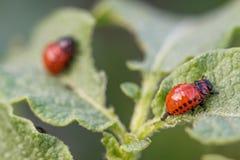 Colorado potato beetle larvae on the leaves Royalty Free Stock Photos