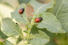 Colorado potato beetle larvae on the leaves Stock Photography