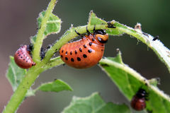 Colorado potato beetle larvae Stock Photography