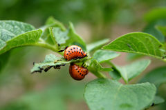 Colorado potato beetle larvae on potato Royalty Free Stock Photography
