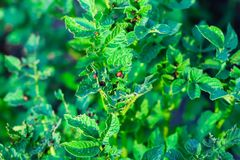 Colorado potato beetle larvae sit on the leaves of a potato and eat it royalty free stock photos