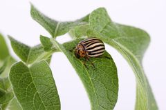 Colorado potato beetle on a leaf Royalty Free Stock Image