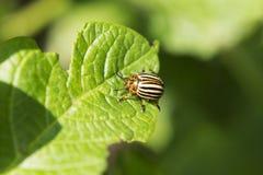 Colorado potato beetle on a potato leaf close-up. Colorado potato beetle on a potato leaf close-up stock photos