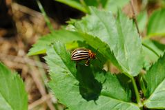 Colorado potato beetle on leave Royalty Free Stock Photo