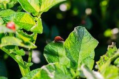 Colorado potato beetle on potato leaves royalty free stock photo