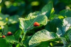Colorado potato beetle on potato leaves. Larvae of the Colorado potato beetle on green leaves of potato royalty free stock photo