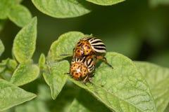 Colorado potato beetle on potato leaves in nature.  royalty free stock photo