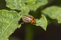 Colorado potato beetle on potato leaves in nature.  royalty free stock photography