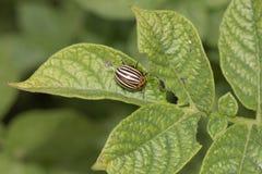 Colorado potato beetle on potato leaves in nature.  royalty free stock image