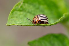 Colorado potato beetle on the leaves of potatoes. In the garden royalty free stock photography