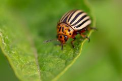Colorado potato beetle on the leaves of potatoes. In the garden royalty free stock photo