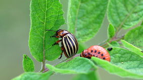 Colorado Potato Beetle stock video