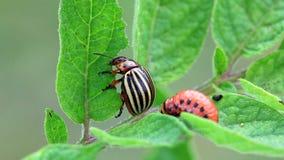 Colorado Potato Beetle stock video