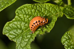 Colorado potato beetle (Leptinotarsa decemlineata) Stock Images