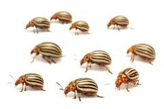 Colorado potato beetle Leptinotarsa decemlineata, also known as the Colorado beetle, the ten-striped spearman, the ten-lined pot. Colorado potato beetle royalty free stock images