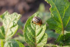 Colorado Potato Beetle (Leptinotarsa decemlineata). Colorado Potato Beetle Leptinotarsa decemlineata on potato bush royalty free stock photo