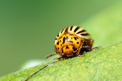 Colorado potato beetle. Leptinotarsa decemlineata or Colorado potato beetle closeup Stock Image