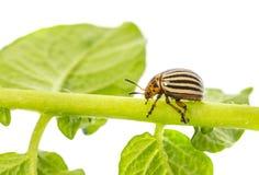 The Colorado potato beetle Leptinotarsa decemlineata. Pest of potatoes and tomatoes royalty free stock image