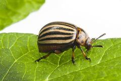 The Colorado potato beetle Leptinotarsa decemlineata. Pest of potatoes and tomatoes stock photos