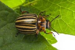 The Colorado potato beetle Leptinotarsa decemlineata. Pest of potatoes and tomatoes stock image