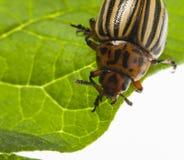 The Colorado potato beetle Leptinotarsa decemlineata. Pest of potatoes and tomatoes stock images