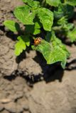 Colorado potato beetle Leptinotarsa decemlineata. On young potato plant stock photography