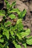 Colorado potato beetle Leptinotarsa decemlineata. On young potato plant royalty free stock image