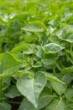 Colorado potato beetle Leptinotarsa decemlineata eats potato leaves in a garden. Top view stock photo