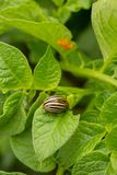 Colorado potato beetle Leptinotarsa decemlineata eats  potato leaves and its eggs in background. Top view royalty free stock photo