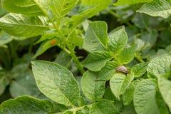 Colorado potato beetle Leptinotarsa decemlineata eats  potato leaves and its eggs in background. Top view stock photo