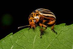 Colorado Potato Beetle on the green leaf stock photo