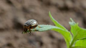 Colorado potato beetle (Leptinotarsa decemlineata) on leaf stock video footage