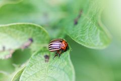 Colorado potato beetle Leptinotarsa decemlineata on a leaf of a potato plant. A Colorado potato beetle Leptinotarsa decemlineata on a leaf of a potato plant royalty free stock photos