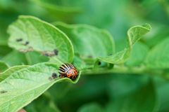 Colorado potato beetle Leptinotarsa decemlineata on a leaf of a potato plant. A Colorado potato beetle Leptinotarsa decemlineata on a leaf of a potato plant royalty free stock photography